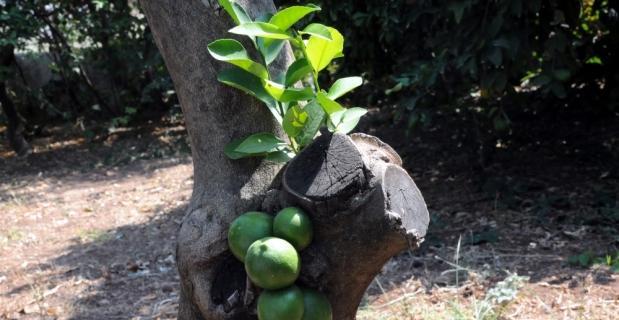 Limon ağacının gövdesi meyve verdi