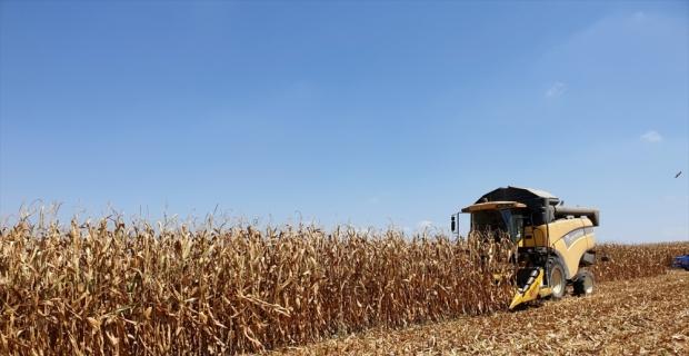 Kadirli'de mısır hasadı başladı