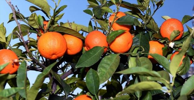 Antalya'da turunç ağaçlarının meyveleri hediyelik reçel olacak