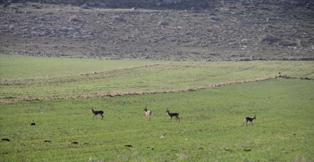Hatay'da dağ ceylanlarının popülasyonunda sevindirici artış