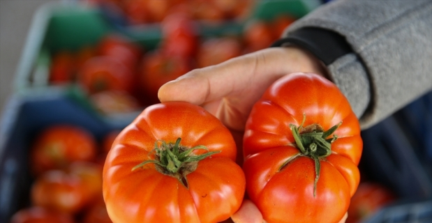 Rusya'nın domates kotasını yükseltmesi Antalya'daki üreticileri ve ihracatçıları sevindirdi
