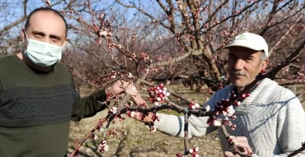 Malatya'da kayısı ağaçları çiçek açtı
