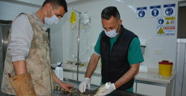 Adana'da bulunan timsah Mersin'de koruma altına alındı
