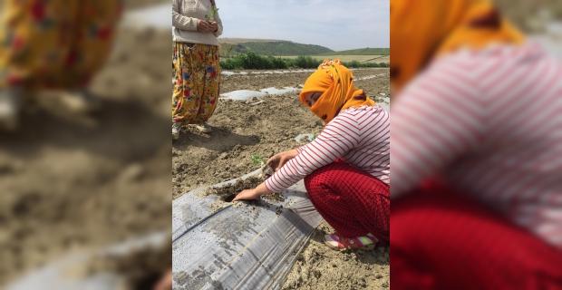 Adana'da tarladan karpuz fidesi çalındığı iddia edildi