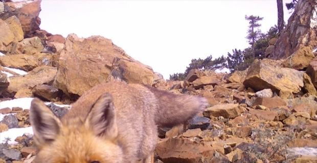 Amanos Dağları'nda yaban hayatı fotokapanla kaydedildi