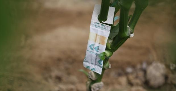 Antalya'da tarımsal ürünlerin kalitesinden yararlı böceklerle ödün verilmiyor