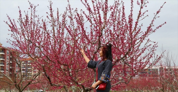 Isparta'da çiçek açan şeftali ağaçları görsel şölen sunuyor