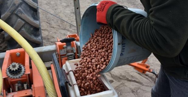 Tarsus'ta yerli yer fıstığı çeşidi Ayşehanım'ın deneme ekimi gerçekleştirildi