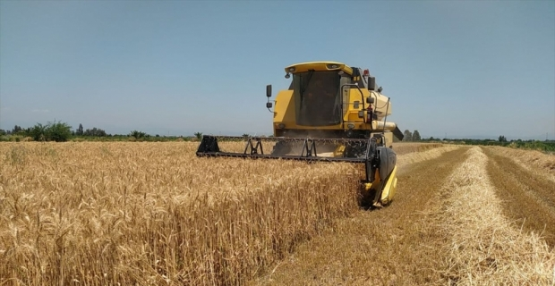 Adana'nın Kozan ilçesinde buğday hasadına başlandı