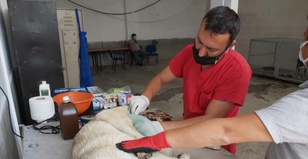 Yalvaç'ta sokak hayvanlarını kısırlaşma işlemi başlatıldı