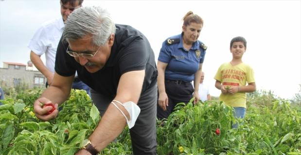 AK Parti Milletvekili Hüseyin Yayman, Samandağ ilçesinde biber hasadına katıldı
