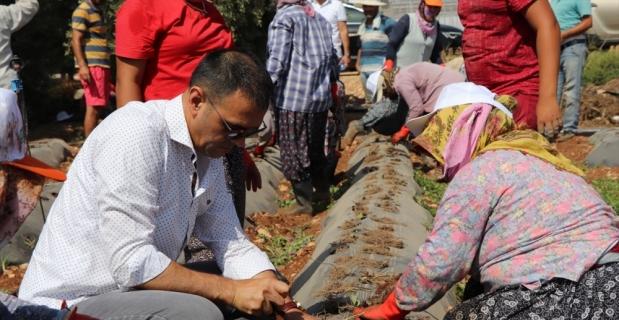 Silifke Belediye Başkanı Sadık Altunok, işçilerle çilek fidesi dikti