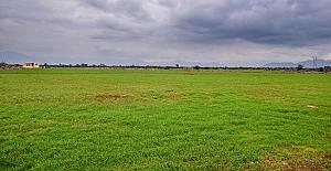 Kepez Belediyesince 540 dönümlük tarlaya ekilen buğdaylar yeşerdi