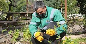 Erdemli Belediyesi yılda 14 bin gül fidesi üretiyor