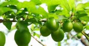 Mersin'de hasadına başlanan erkenci erik kilogramı 500 liradan satılıyor