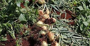 Hatay'da turfanda soğan hasadına başlandı