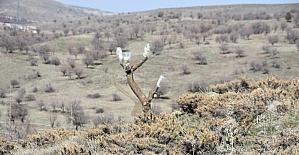Malatya'da kırsaldaki ahlat ağaçları aşılanarak