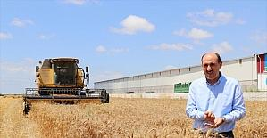 Çukurova'da buğday hasadı başladı