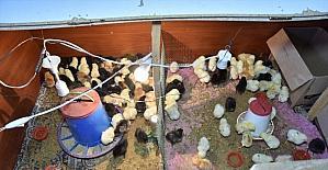 Girişimci kadın bileziklerini satarak aldığı kuluçka makinesinden aylık 4 bin civciv çıkartıyor