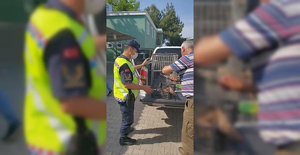 Hatay'da jandarmanın yaralı bulduğu şahin tedaviye alındı