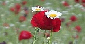 Kahramanmaraş'ta açan gelincikler güzel görüntüler oluşturdu