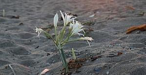 Nesli tükenme tehlikesindeki kum zambakları Adana sahillerinin