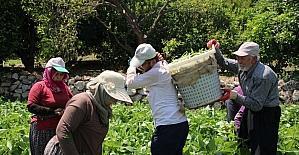 Erdemli'de üreticiler Dünya Çiftçiler Günü'nü seralarda geçirdi