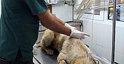 Antalya'da tüfekle vurulan köpek tedavi altına alındı